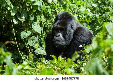 A critically endangered silverback mountain gorilla in a primary rainforest