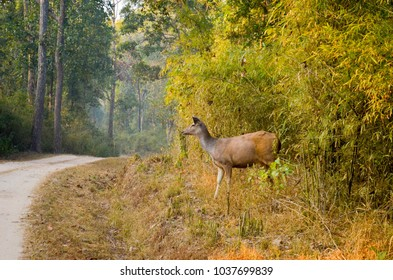 Critically endangered species found exclusively at Kanha National Park, India. The animal is named as Swamp deer or 'Barasingha'.