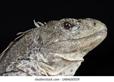 The critically endangered Utila iguana (Ctenosaura bakeri)