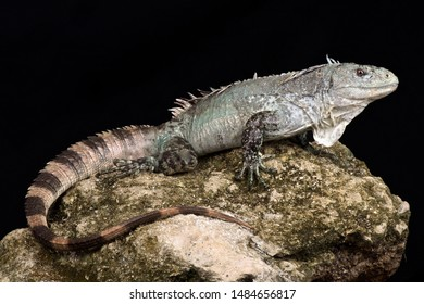 Critically endangered Utila iguana (Ctenosaura bakeri)