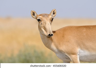 Critically endangered wild female Saiga antelope (Saiga tatarica) in morning steppe. Federal nature reserve Mekletinskii, Kalmykia, Russia, August, 2015