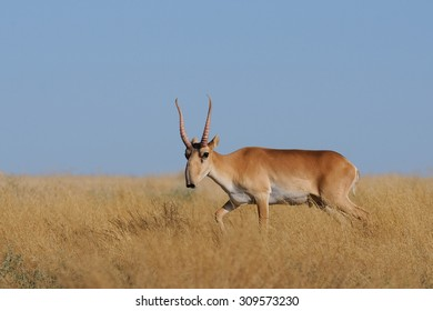 Critically endangered wild Saiga antelope (Saiga tartarica, male) in morning steppe. Federal nature reserve Mekletinskii, Kalmykia, Russia, August, 2015
