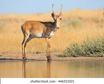 Critically endangered wild Saiga antelope (Saiga tatarica) near watering in steppe. Federal nature reserve Mekletinskii, Kalmykia, Russia, August, 2015