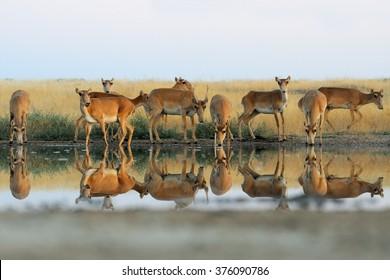 Critically endangered wild Saiga antelopes (Saiga tatarica) at watering in morning steppe. Federal nature reserve Mekletinskii, Kalmykia, Russia, August, 2015