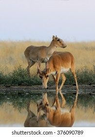 Critically endangered wild Saiga antelopes (Saiga tatarica) at watering in morning steppe. Federal nature reserve Mekletinskii, Kalmykia, Russia, August, 2015