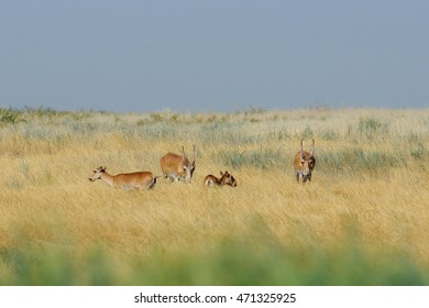 Critically endangered wild Saiga antelopes (Saiga tatarica) in morning steppe. Federal nature reserve Mekletinskii, Kalmykia, Russia, August, 2015