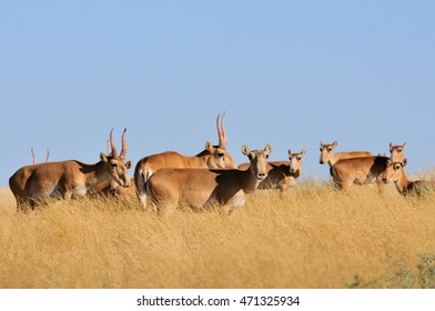 Critically endangered wild Saiga antelopes (Saiga tatarica) in steppe. Federal nature reserve Mekletinskii, Kalmykia, Russia, August, 2015