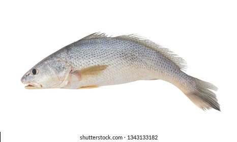 Croaker fish isolated on white