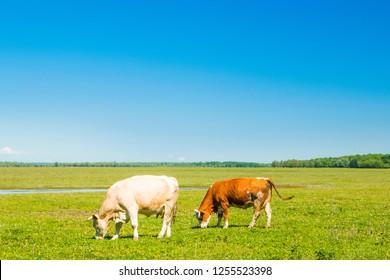 Croatia, Lonjsko polje nature park, cows on field, beautiful landscape, sunny summer day
