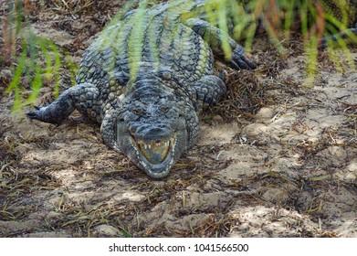 Crocodil hidden in the shadow