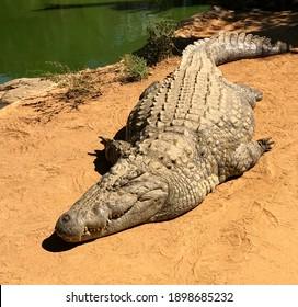 Crocodile alligator in the everglades, dangerous predator sleeping on the river bank.