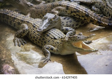Crocodile, alligator. Thailand
