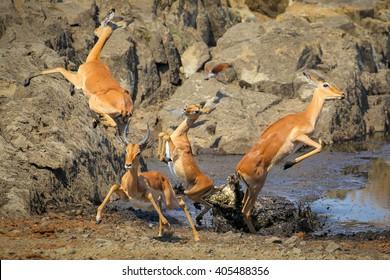 Crocodile attack on impala, Kruger National Park, South Africa