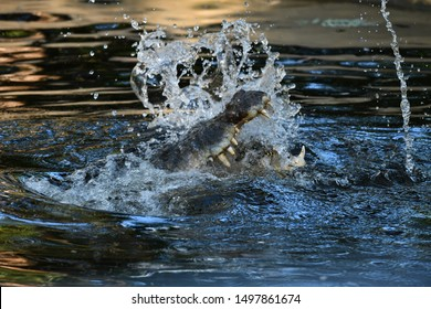 Crocodile attack out of the water