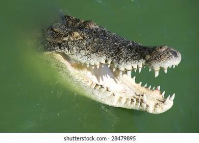 Crocodile attacking his prey into water