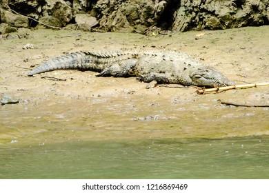 Crocodile babies lying on a rock in the river Grijalva. Sumidero canyon, Chiapas, Mexico.