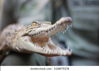 crocodile baby's head with mouth open as a form of protection from danger. close up small crocodile with mouth open ready to pounce