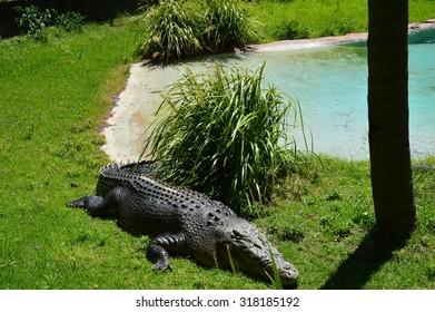 Crocodile at the beach - Western Australia