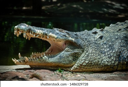 Crocodile the Beast relaxing with mouth open