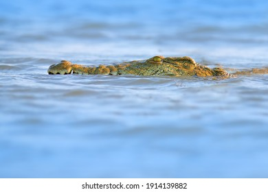 Crocodile with beautiful evening light. Nile crocodile, Crocodylus niloticus, with open muzzle, in the river bank, Okavango delta, Moremi, Botswana. Wildlife scene  from African nature.