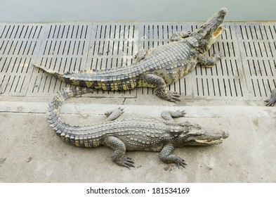 Crocodile is between land and water