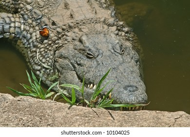 crocodile with a butterfly