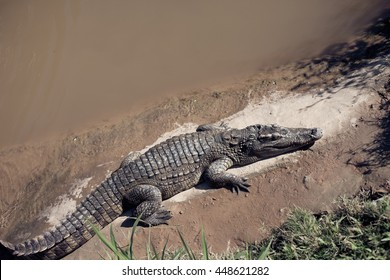 Crocodile by the water in the reserve. A trip to Asia.