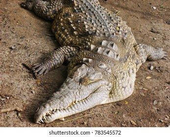 crocodile in captivity in full rest