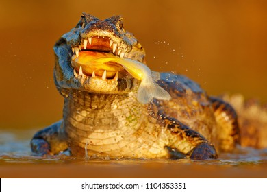 Crocodile catch fish in river water, evening light. Yacare Caiman, crocodile with piranha in open muzzle with big teeth, Pantanal, Brazil. Detail portrait of danger reptile.