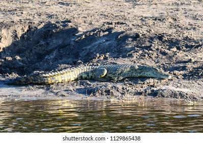 Crocodile at Chobe River banks