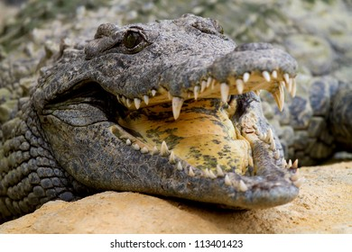 Crocodile is cooling down with mouth open in closeup