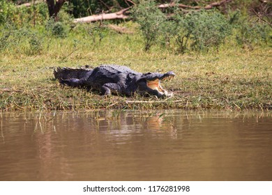 Crocodile (Crocodylus niloticus) laying in grass on the swampy Chamo lakeshore in Ethiopia.