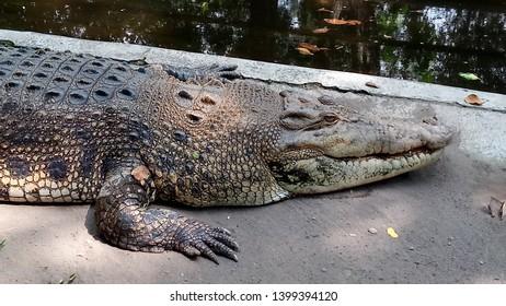 A crocodile (Crocodylus Porosus) lying on a ground near a swamp