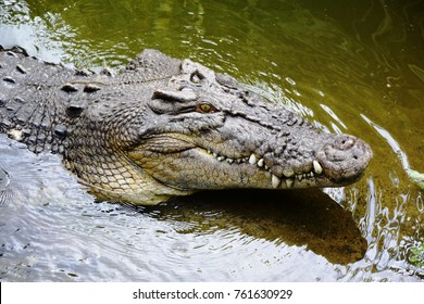 Crocodile emerging from water at Daintree River, Daintree Rainforest near Cairns, Queensland, Australia