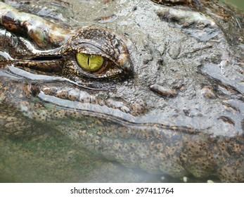 Crocodile Eyes Detail Close Up