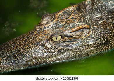 Crocodile in the farm, Thailand