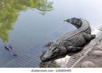 Crocodile fat body sleeping in zoo of Thailand.