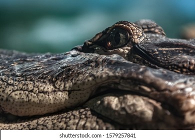 Crocodile fierce creature of the swamp