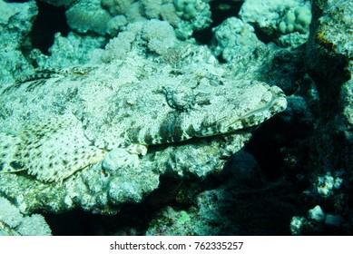 Crocodile fish (Cymbacephalus beauforti) in the Red Sea