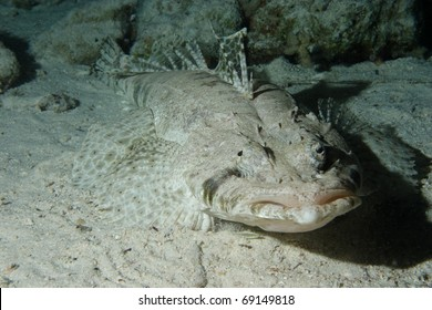 Crocodile fish (Papilloculiceps longiceps) in Bluff Point, Egypt.