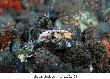 Crocodile fish - Serrated Flathead Rogadius serratus. Underwater world, macro photography. Tulamben, Bali, Indonesia.