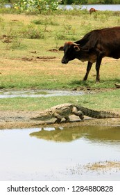 Crocodile fleeing as a grazing wild cow came too close. Yala National Park, Sri Lanka