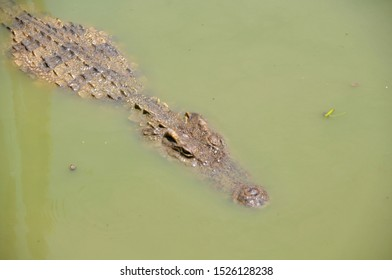 crocodile floating in water, note  select focus with shallow depth of field