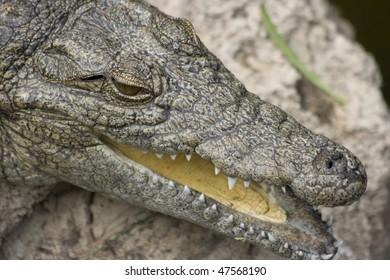 a crocodile with Fuerteventura island