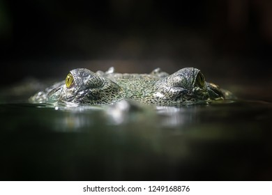 The crocodile Gavial indian looking above water