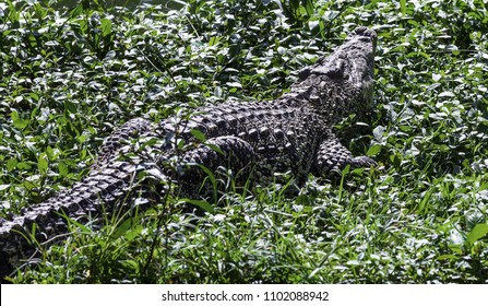 crocodile in the grass by the lake
