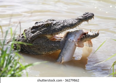 Crocodile with green eyes and freshly caught fish