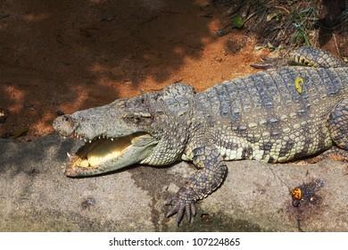 The crocodile is happy. A terrarium in tropical park after feeding of crocodiles