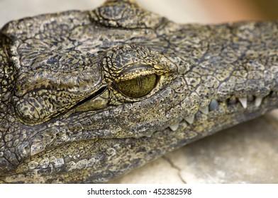 Crocodile Head up close