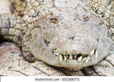 Crocodile Head Close Up Photo